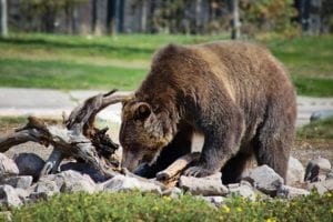 US Judge Blocks First Yellowstone-Area Grizzly Hunt In 40 Years